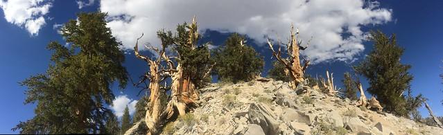 Pinus longaeva-Great Basin Bristlecone Pine