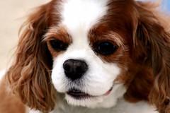 dog breed(1.0), animal(1.0), dog(1.0), cavachon(1.0), welsh springer spaniel(1.0), pet(1.0), king charles spaniel(1.0), phalã¨ne(1.0), spaniel(1.0), cavapoo(1.0), cavalier king charles spaniel(1.0), carnivoran(1.0),