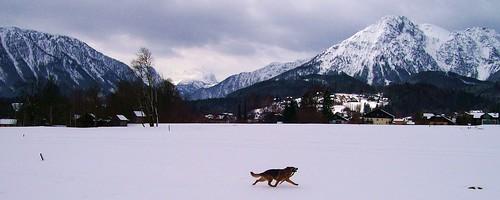 schnee winter snow dogs fun alma berge germanshepherd dachstein hunde altaussee salzkammergut schäferhund