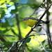 Paruline à tête cendrée -Magnolia Warbler (F)