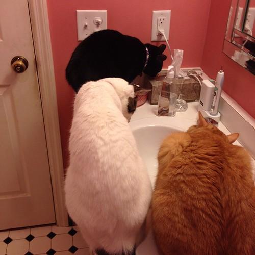 Gathering Around the Water Hole #cats #catsofinstagram #foodcatspens