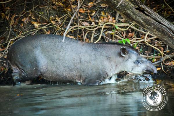 South American Tapir Southern Amazon