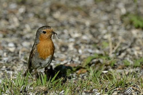 robin birds erithacusrubecula sweden aves sverige fåglar rödhake