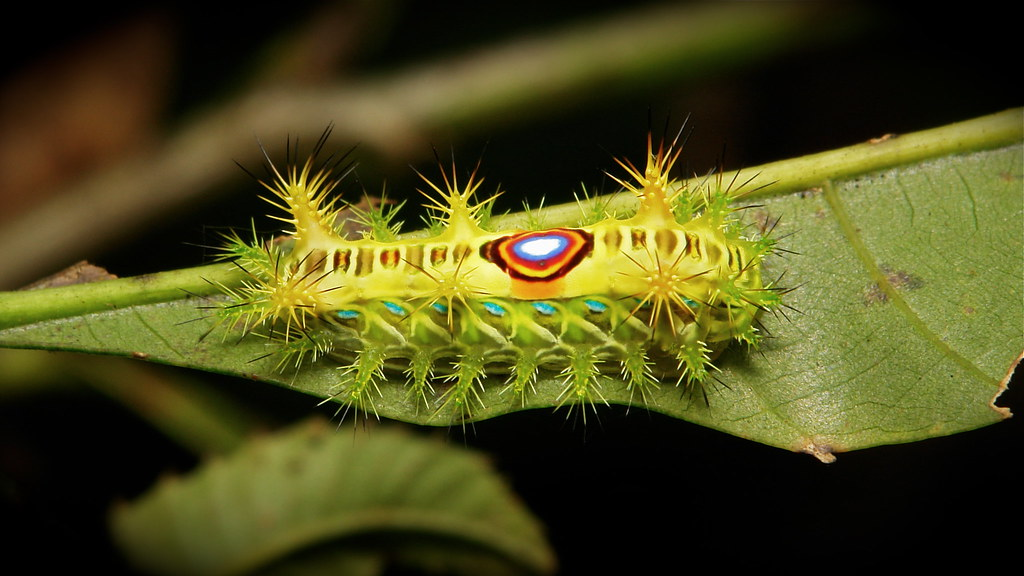 Stinging Nettle Slug Caterpillar (Cup Moth, Limacodidae)