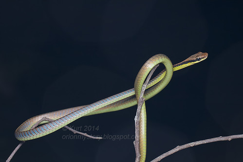 Dendrelaphis cyanochloris IMG_3176 copy