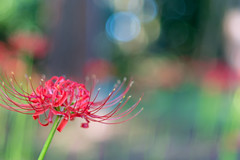 22/09/2014_day154 : Red Spider Lily in Jindai Botanical Park