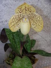 Paphiopedilum leucochilum x concolor