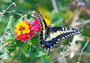 Swallowtail Butterfly 02