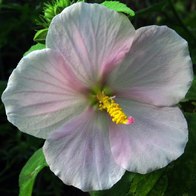 Hibiscus sp.?