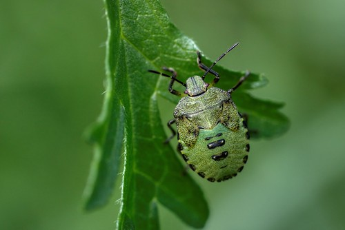 Nymph of the Common Green Shieldbug (Palomena Prasina)