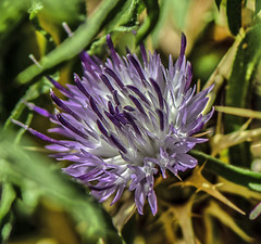 jasione montana(1.0), flower(1.0), purple(1.0), thistle(1.0), plant(1.0), lilac(1.0), macro photography(1.0), herb(1.0), wildflower(1.0), flora(1.0), produce(1.0), silybum(1.0), close-up(1.0), petal(1.0),