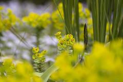 Euphorbia