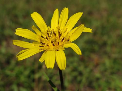 wiesenbocksbart közönségesbakszakáll bakszakáll bocksbart meadowsgoatbeard asteraceae flower diversity tragopogon tragopogonpratensis tragopogonpratensisssporientalis
