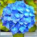 Blue Hydrangea ..