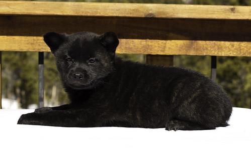Kumi-Litter4-Day46-Puppy2-Female(Lucy)-4