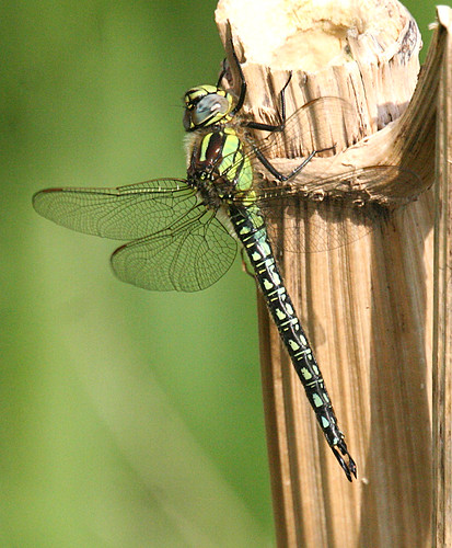 Hairy Dragonfly Brachytron pratense Leven Canal, East Yorkshire May 2014