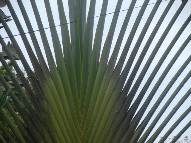 fan-palm-1