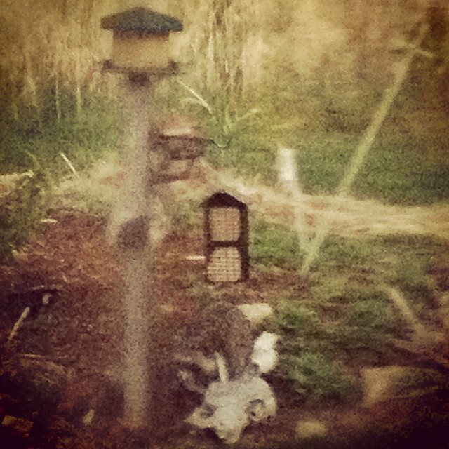 Masked bandit braving the rainstorm to swipe some birdseed. #racoon #countrylife #100happydays #day7