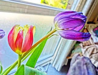 Colorful tulips, direct with Sony Cybershot