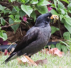 robin(0.0), wildlife(0.0), animal(1.0), fauna(1.0), finch(1.0), acridotheres(1.0), beak(1.0), blackbird(1.0), bird(1.0),
