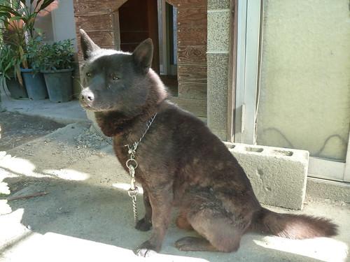 甲斐犬(牡)