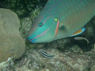 A clean parrotfish