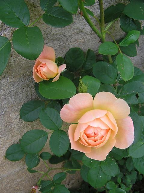 Rosa 'The Larc Ascending'