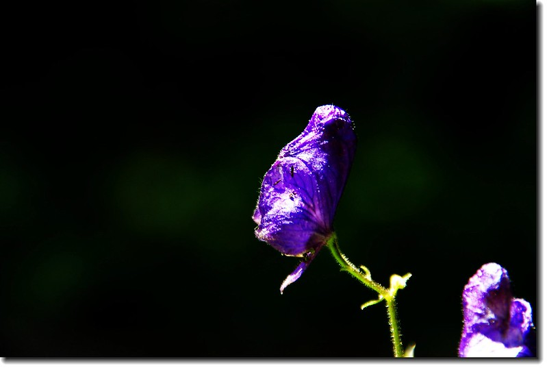 Monkshood 3