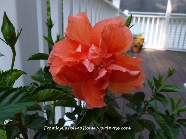 HIbiscus Flower 2