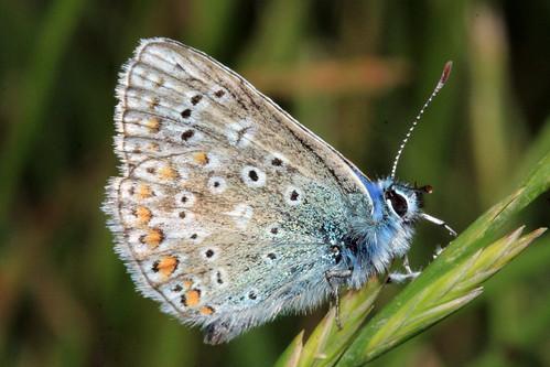 Common Blue 30415