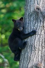 Minnesota Black Bear Cub