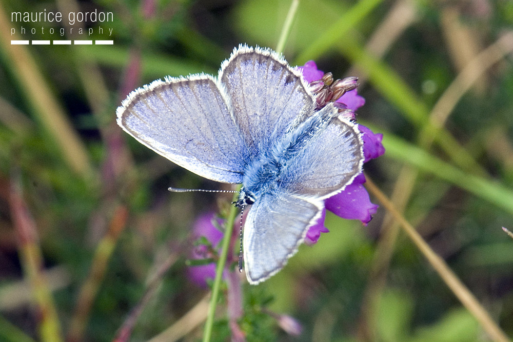 silver-studded-blue-1348