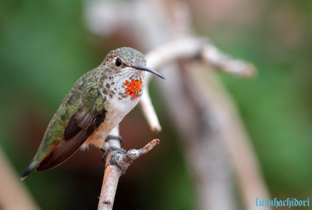 Allen's Hummingbird 170714