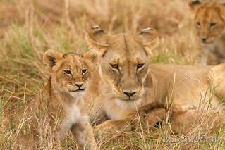 Masai Mara - Lion Family