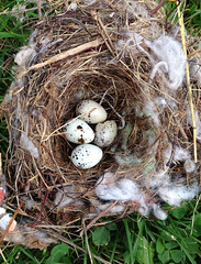 Cedar Waxwing nest and eggs