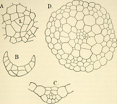 """Image from page 206 of """"The structure and development of mosses and ferns (Archegoniatae)"""" (1918)"""