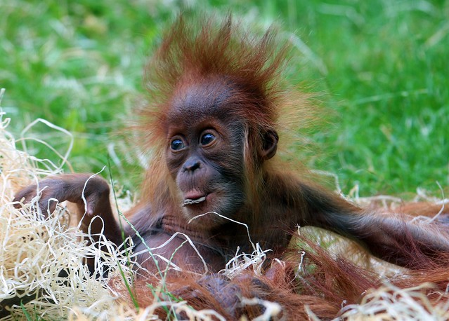 Sumatra-Orang-Utan-Baby Olivia