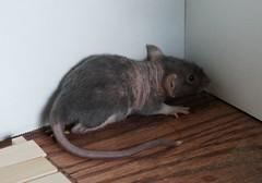 animal, rodent, pet, mouse, fauna, muroidea, degu, whiskers, gerbil,