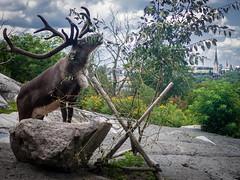 Skansen, Djurgården - Moose