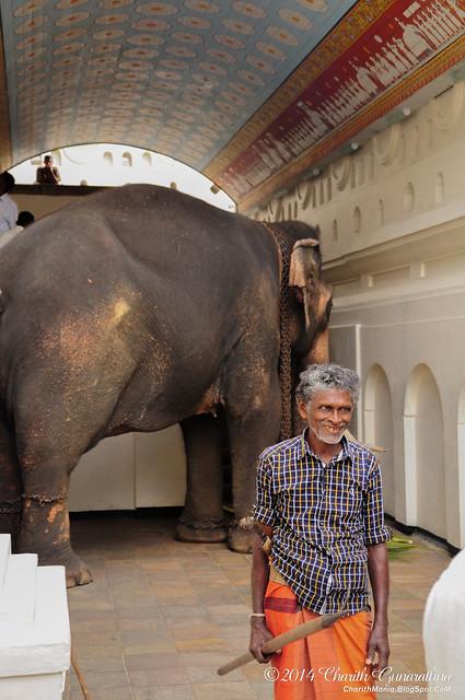 Nadungamuwa Raja Tusker - Sri Dalada Malugawa