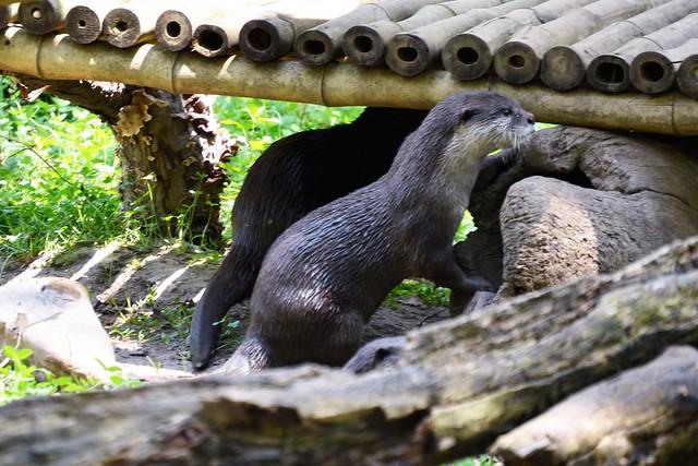 Peeking Otter Pup