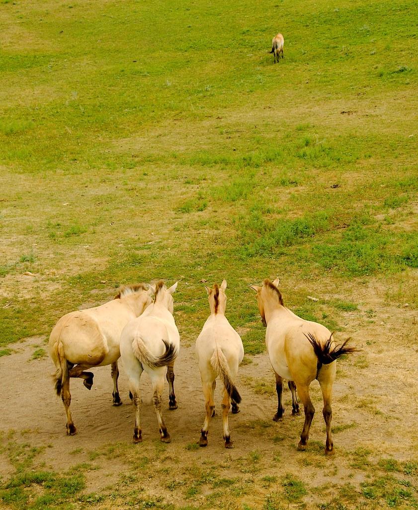 Przewalskii's Wild Horse (Equus ferus przewalskii)_1
