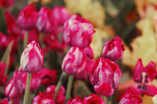 Tulips Orqui 800 signed