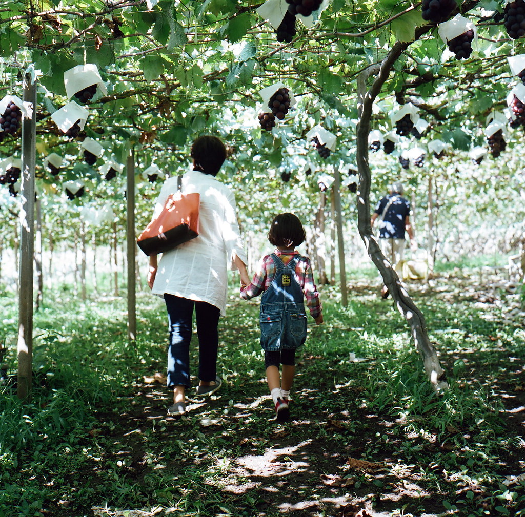 grape picking