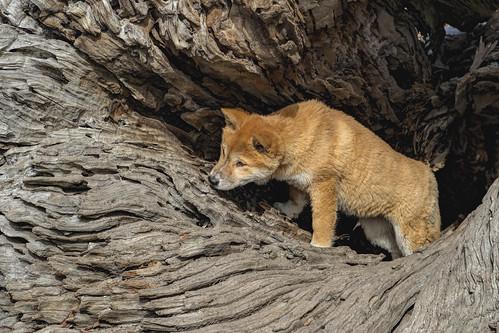 Dingo puppy 2014-08-31 (IMG_7293)