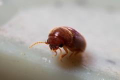 菸甲蟲的外觀,圖片攝影:李鍾旻。
