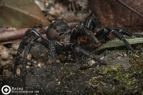 Angry Malaysian Trapdoor Spider (Liphistius malayanus ♀)