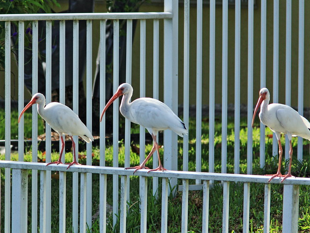 White Ibises on fence 20140905