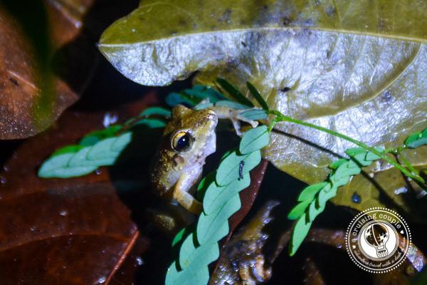 Frog Brazilian Amazon