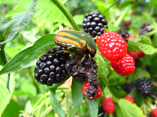 Green June Beetle Feeding on Blackberries